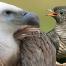 Thumbnail image for SEO : êtes-vous vautour ou coucou ?