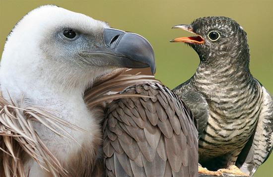 vautour coucou